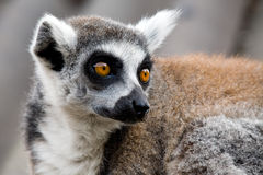 Ring-tailed Lemur. This ring-tailed Lemur is on alert for intruders royalty free stock photo