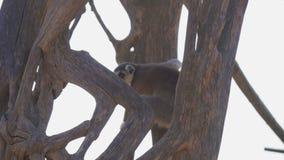 Ring-tailed Lemur stock footage