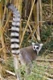 Ring-tailed Lemur Lizenzfreie Stockbilder