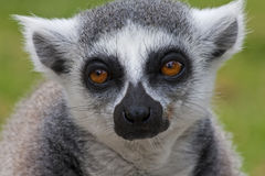 Ring-Tailed Lemur. Portrait of a Ring-tailed Lemur taken at Haifa zoo - Israel Royalty Free Stock Image