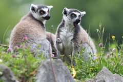 Ring-tailed Lemur Stock Image