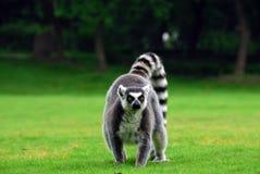 Ring-tailed Lemur Stock Photos