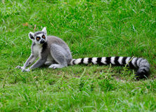 Ring Tailed Lemur. Posing on the grass Stock Photos