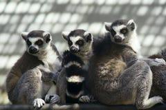 Free Ring-tailed Lemur Stock Photo - 19520940