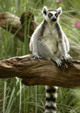 Ring-tailed lemur 2. RIng-tailed lemur sitting on a fallen tree royalty free stock photography