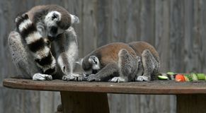Ring-tailed Lemur 2 Royalty Free Stock Photography