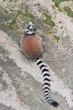 Ring-Tailed Lemur Royaltyfria Bilder