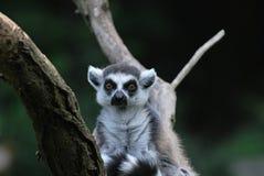 Ring-tailed lemur. (Lemur catta) portarit Stock Photos