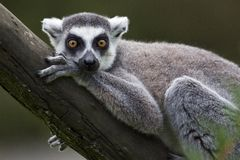 Ring Tailed Lemur. Portrait of ring tailed lemur Royalty Free Stock Photography