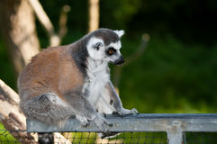 Ring-tailed Lemur. (Lemur catta) sitting on a rail Royalty Free Stock Photography