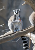 Ring Tailed Lemur Royalty Free Stock Photos