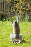 Ring-tailed lemur Royalty Free Stock Photography