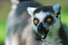 Ring-tailed lemur. Opens his mouth and eats grass royalty free stock images