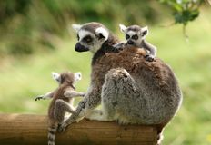 Ring-Tailed Lemur stockfotografie