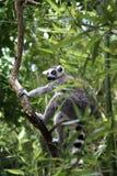 Ring-Tailed Lemur Stockfoto