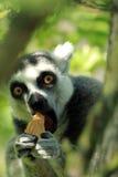 Ring-tailed lemur Стоковые Изображения