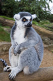 Ring tailed Lemur Royalty Free Stock Image