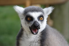 Ring Tailed Lemur. Face Ring Tailed Lemur  - Close Up Stock Photography