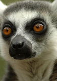 Ring-tailed lemur 3. Close up portrait of a ring-tailed lemur showing eyes and snout royalty free stock photo