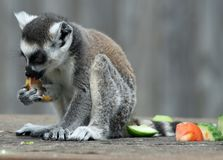 Ring-tailed Lemur 3 Royalty Free Stock Images