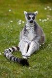 Ring Tailed Lemur Arkivbild