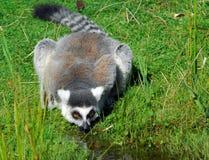 Ring-tailed Lemur. Portrait of a Ring-tailed Lemur (Lemur catta) drinking Stock Image