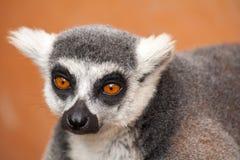 Ring-tailed lemur. Headshot of a ring-tailed lemur Stock Photo