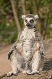 Ring-tailed lemur Stock Photo