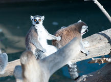Ring Tailed Lemur Royaltyfri Foto