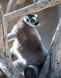 Ring Tailed Lemur Arkivbilder