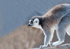Ring Tailed Lemur Stock Foto