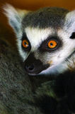 Ring-tailed Lemur Stockbilder