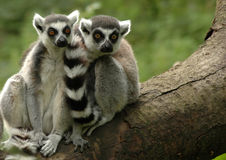 Ring-tailed lemur 4. Two ring-tailed lemurs sitting together on a fallen tree stock photo