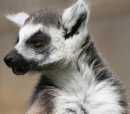 Ring-tailed Lemur 4 Royalty Free Stock Images
