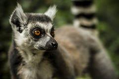 Ring Tailed Lemur 2 Foto de archivo