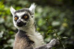 Ring Tailed Lemur 1 Foto de archivo libre de regalías
