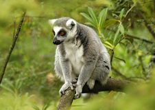 Ring-tailed lemur 5. Ring-tailed lemur sitting on a tree branch surrounded by green royalty free stock image