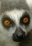 Ring-tailed lemur 6. Close up portrait of a ring-tailed lemur, showing eyes and snout royalty free stock photo