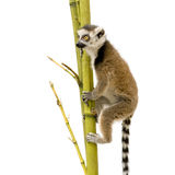 Ring-tailed Lemur (6 weeks) - Lemur catta Royalty Free Stock Image