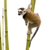 Ring-tailed Lemur (6 weeks) - Lemur catta Royalty Free Stock Photo