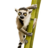 Ring-tailed Lemur (6 weeks) - Lemur catta Royalty Free Stock Images