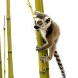 Ring-tailed Lemur (6 weeks) - Lemur catta Royalty Free Stock Image