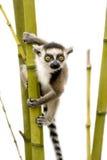 Ring-tailed Lemur (6 weeks) - Lemur catta Royalty Free Stock Images