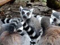 Free Ring Tailed Lemur Royalty Free Stock Photo - 61190905
