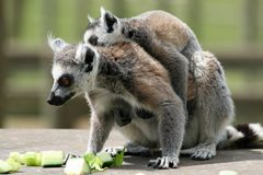 Ring-tailed Lemur 7 Stock Photos