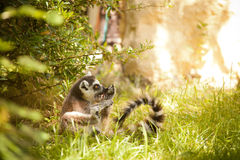 Ring-tailed Lemur Lizenzfreie Stockfotos