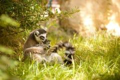 Ring-tailed Lemur Lizenzfreie Stockfotografie