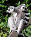 Ring-tailed Lemur. Cute little ring-tailed lemur sitting on a fence with a baby on its back Royalty Free Stock Image