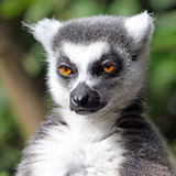 Ring-tailed Lemur. Portrait of an adorable ring-tailed lemur in close-up Stock Photos
