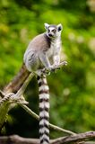 Ring-Tailed Lemur Stock Photos